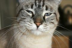 γάτα νυσταλέα Στοκ φωτογραφίες με δικαίωμα ελεύθερης χρήσης