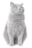 γάτα νυσταλέα Στοκ Εικόνα