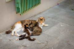 Γάτα οδών που απορροφά δύο γατάκια της σε ένα πεζοδρόμιο στοκ εικόνα με δικαίωμα ελεύθερης χρήσης