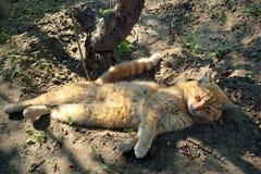 γάτα οκνηρή Στοκ Εικόνες