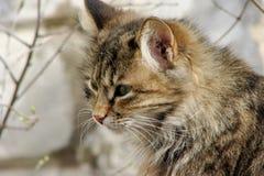 Γάτα οδών με τα λωρίδες Στοκ φωτογραφία με δικαίωμα ελεύθερης χρήσης