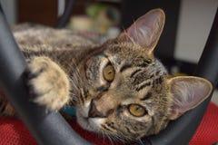Γάτα πέρα από μια κόκκινη καρέκλα Στοκ φωτογραφία με δικαίωμα ελεύθερης χρήσης