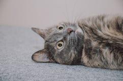 Γάτα, παιχνίδι, που οδηγά στην πλευρά Στοκ Φωτογραφία