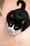 γάτα πεινασμένη Στοκ Φωτογραφίες