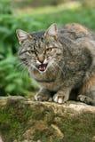 γάτα πεινασμένη Στοκ φωτογραφίες με δικαίωμα ελεύθερης χρήσης