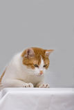 γάτα περίεργη Στοκ Φωτογραφίες