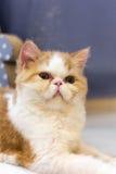 γάτα περίεργη Στοκ Εικόνες