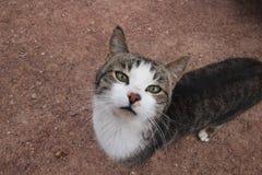 γάτα περίεργη Στοκ Εικόνα