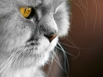 γάτα περσική Στοκ Εικόνα