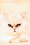 γάτα περσική Στοκ φωτογραφίες με δικαίωμα ελεύθερης χρήσης