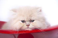 γάτα περσική Στοκ εικόνες με δικαίωμα ελεύθερης χρήσης