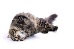 γάτα περσική Στοκ Φωτογραφίες