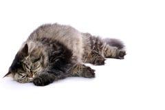 γάτα περσική Στοκ εικόνα με δικαίωμα ελεύθερης χρήσης