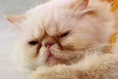 γάτα περσική Στοκ Φωτογραφία