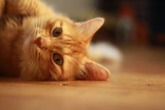 Γάτα πιπεροριζών με τα πράσινα μάτια στοκ φωτογραφίες με δικαίωμα ελεύθερης χρήσης