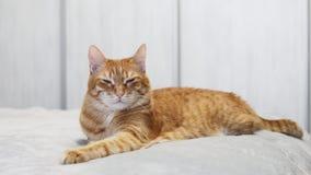 Γάτα πιπεροριζών που βρίσκεται σε ένα κρεβάτι και που φαίνεται ευθεία μπροστά άμεσα στη κάμερα στο άσπρο θολωμένο κλίμα απόθεμα βίντεο