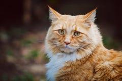 Γάτα πιπεροριζών που εξετάζει έντονα το θεατή Στοκ Εικόνα