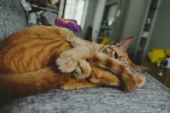 Γάτα πιπεροριζών σε έναν καναπέ Στοκ Εικόνες