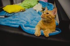 Γάτα πιπεροριζών σε ένα κρεβάτι Στοκ φωτογραφία με δικαίωμα ελεύθερης χρήσης