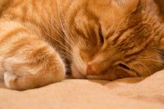 Γάτα πιπεροριζών στην κουβέρτα Στοκ Εικόνα