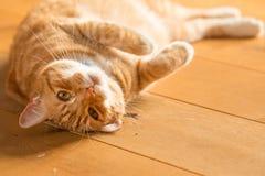 Γάτα πιπεροριζών στο ξύλινο πάτωμα Στοκ εικόνες με δικαίωμα ελεύθερης χρήσης