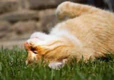 Γάτα πιπεροριζών Στοκ Εικόνα