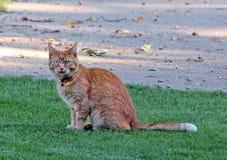 Γάτα πιπεροριζών Στοκ φωτογραφίες με δικαίωμα ελεύθερης χρήσης