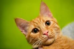 Γάτα πιπεροριζών Στοκ Φωτογραφία