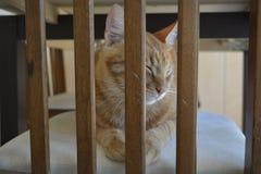 Γάτα πιπεροριζών Στοκ Φωτογραφίες