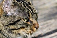 Γάτα - πορτρέτο Στοκ Εικόνα
