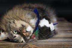 Γάτα που αγκαλιάζει το παιχνίδι γατών Στοκ Εικόνες