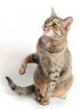 γάτα που ανατρέχει Στοκ Εικόνα