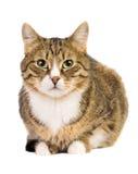 γάτα που απομονώνεται Στοκ Εικόνες