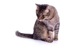 γάτα που απομονώνεται Στοκ Φωτογραφίες