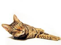 γάτα που απομονώνεται Στοκ Φωτογραφία