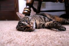 Γάτα που βάζει με το καμμμένο αυτί στοκ εικόνες