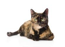 Γάτα που βρίσκεται και που εξετάζει τη κάμερα η ανασκόπηση απομόνωσε το λευκό στοκ φωτογραφίες