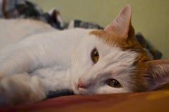 Γάτα που βρίσκεται σε ένα κρεβάτι που κοιτάζει στη κάμερα Στοκ Φωτογραφίες