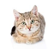 Γάτα που βρίσκεται σε μπροστινό και που εξετάζει τη κάμερα Απομονωμένος στο λευκό Στοκ Εικόνες