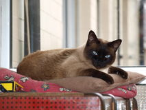 γάτα που βρίσκεται σιαμέζ& Στοκ Φωτογραφίες