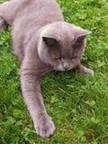 Γάτα που βρίσκεται στη χλόη στοκ εικόνες με δικαίωμα ελεύθερης χρήσης