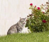 Γάτα που γλείφει τα χείλια στον κήπο Στοκ εικόνα με δικαίωμα ελεύθερης χρήσης