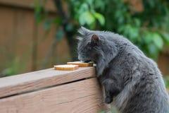 Γάτα που γλείφει το τυρί κρέμας μακριά του ψωμιού στοκ εικόνες