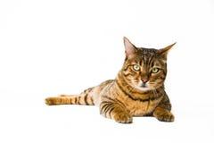 Γάτα που εξετάζει τη κάμερα, που απομονώνεται Στοκ Εικόνες