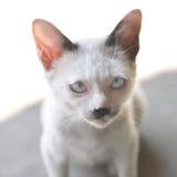 Γάτα που εξετάζει τη κάμερα στοκ εικόνα