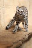 γάτα που επισημαίνονται λίγα Στοκ φωτογραφία με δικαίωμα ελεύθερης χρήσης