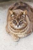 γάτα που ικανοποιείται Στοκ Εικόνες
