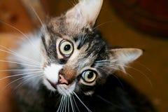 Γάτα που κοιτάζει επίμονα έντονα στοκ φωτογραφία