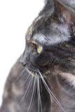 γάτα που κοιτάζει πέρα από τον ώμο Στοκ Φωτογραφίες
