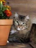 Γάτα που κρυφοκοιτάζει γύρω από το δοχείο λουλουδιών Στοκ εικόνα με δικαίωμα ελεύθερης χρήσης